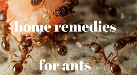 effective home remedies for ants
