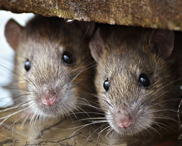 how to prevent rodent infestation