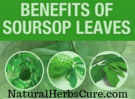 health benefits of soursop leaves