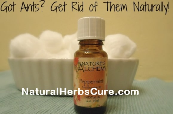 how to get rid of ants naturally permanently