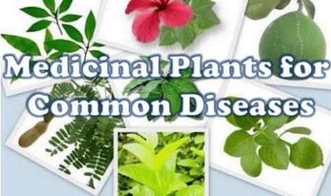 medicinal herbs plants uses
